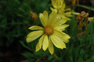 Pretty yellow flower at the Dallas Arboretum