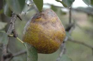 A wood pear on the tree (fall fruit)