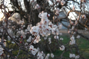 Apricot blossoms at Safe Haven Farm (spring fruit)