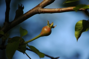 A pear starting to grow in the orchard at Safe Haven Farm