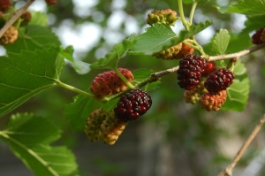 Mulberries on the tree (summer fruit)