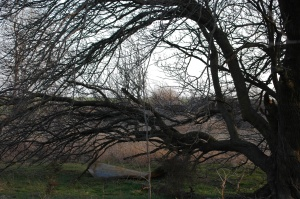 My old apricot tree at Safe Haven Farm