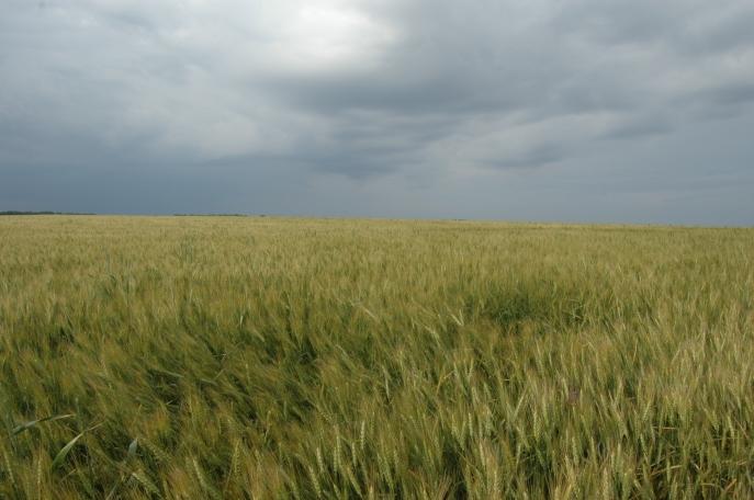 Green-gold wheat, dark sky at Safe Haven Farm, Haven, KS