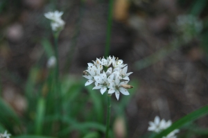 Garlic chives gone to seed at Safe Haven Farm
