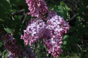 Lilacs at Safe Haven Farm