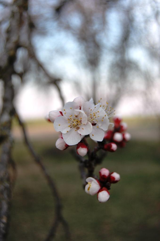 shf_apricot