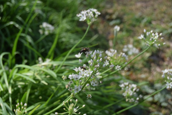 A fly perched on a garlic chive blossom at Safe Haven Farm, Haven, KS