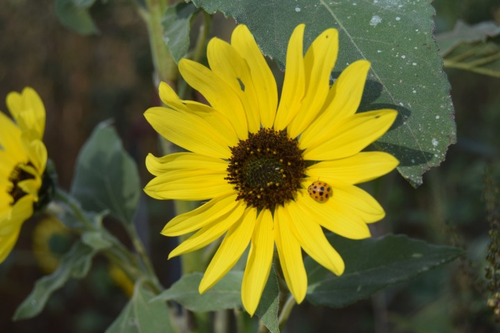 A ladybug on a sunflower at Safe Haven Farm, Haven, KS