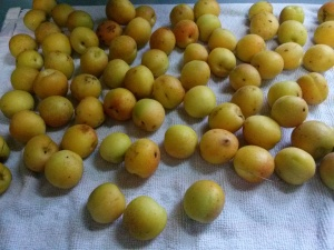 Safe Haven Farm apricots fresh off the tree
