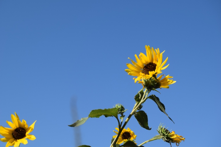 Sunflower being tossed in the Kansas wind (Safe Haven Farm)