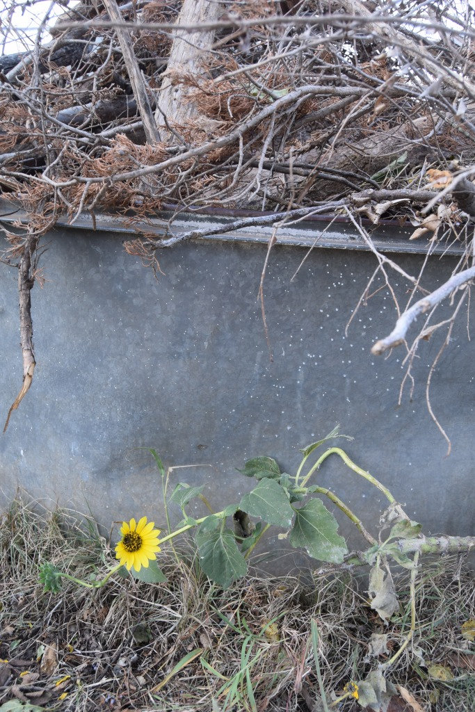 A single sunflower at the base of the burn tank (Safe Haven Farm)
