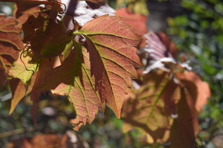 Ivy leaves turning red at Safe Haven Farm