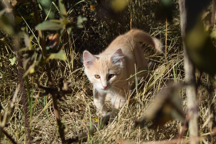 Jethro the kitten stalking grasshoppers in the grass at Safe Haven Farm