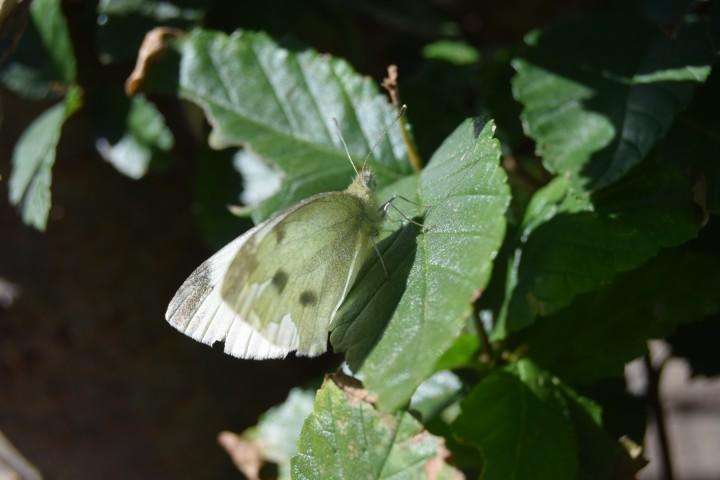 White moth chilling on an elm tree leaf (Safe Haven Farm, Haven, KS)