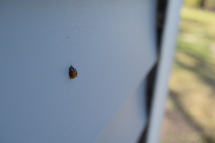 Ladybug hanging out on the siding of the Big House at Safe Haven Farm