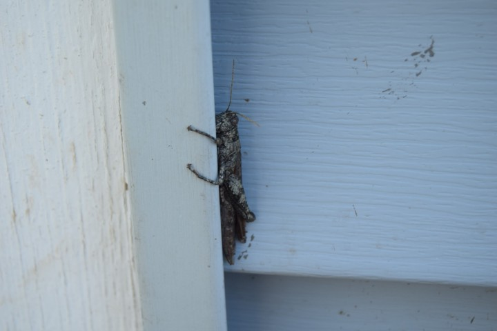 Cranky-looking grasshopper trying to hide (Safe Haven Farm, Haven, KS)