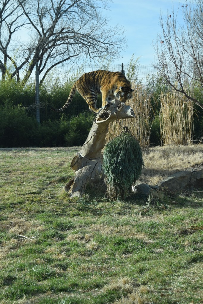 A tiger playing with a Christmas tree